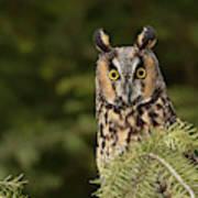 Long-eared Owl, Asio Otus (captive Poster