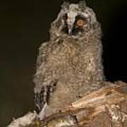Long-eared Owl Asio Otus Poster