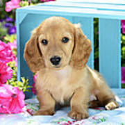 Long Eared Puppy In Front Of Blue Box Poster