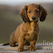 Long-haired Dachshund Puppy Poster