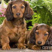 Long-haired Dachshunds Poster