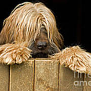 Long-haired Dog Poster