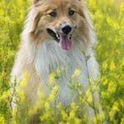 Long Haired Mixed Breed Poster