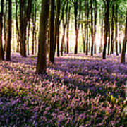 Long Shadows In Bluebell Woods Poster