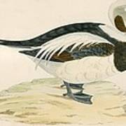 Long Tailed Duck Poster