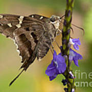 Long-tailed Skipper Photo Poster