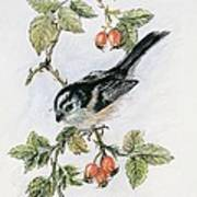 Long Tailed Tit And Rosehips Poster