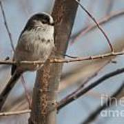Long-tailed Tit Perched On Twig Poster