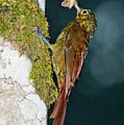 Long-tailed Woodcreeper Poster