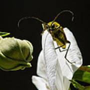 Longhorn Beetle Feeding Poster
