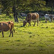 Longhorn Steer Herd In A Pasture Poster