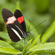 Longwing On A Leaf Poster