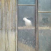 Looking Out The Coop Poster
