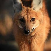 Looks Like A Fox Poster