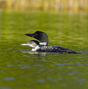 Loon And Juvenile Poster