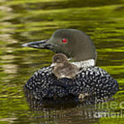 Loon Chick Rides On A Parents Back Poster