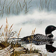 Loons Misty Shore Poster