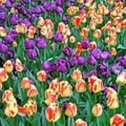 Lots Of Tulips Poster