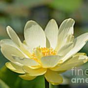 Lotus Blooming  Poster