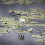 Lotus Flower- Gungarre Billabong V3 Poster