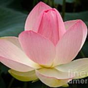 Lotus In Bloom Poster