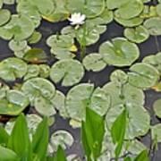 Lotus Pads Poster