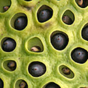 Lotus Seed Pod Poster by Karen Lindquist