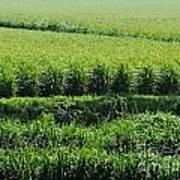 Louisiana Cane Field Poster