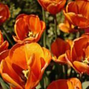 Lovely Burnt Orange Tulips Poster