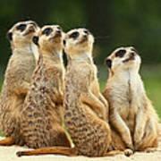 Lovely Group Of Meerkats Poster