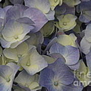 Lovely In Blue And White - Hydrangea Poster