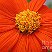 Lovely In Orange - Mexican Daisy Poster