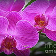Lovely In Purple - Orchids Poster
