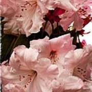 Lovely Pink Rhododendrons With Border Poster