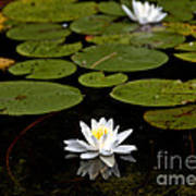 Lovely Pond Lily Poster