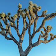 Low Angle View Of Joshua Tree, Joshua Poster