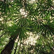 Lowland Tropical Rainforest Fan Palms Poster