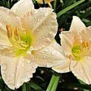 Lullaby Baby Daylilies Poster