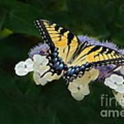 Luminous Butterfly On Lacecap Hydrangea Poster