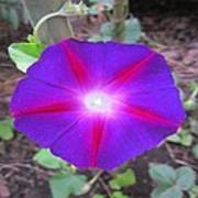 Luminous Morning Glory In Purple Shines On You Poster