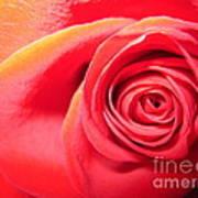 Luminous Red Rose 1 Poster