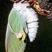 Luna Moth Actias Luna Newly Hatched Poster
