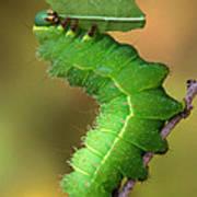 Luna Moth Caterpillar Eating Poster