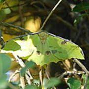 Luna Moth In The Sun Poster
