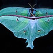 Luna Moth Mirrored Poster