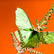 Luna Moth On Astilby Orange Back Ground Poster
