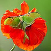 Luna Moth On Poppy Square Format Poster