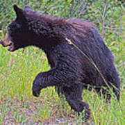 Lunging Black Bear Near Road In Grand Teton National Park-wyoming   Poster