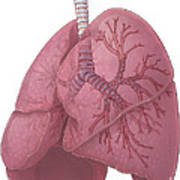 Lungs And Bronchi Poster