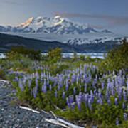 Lupine And Mount Elias Poster